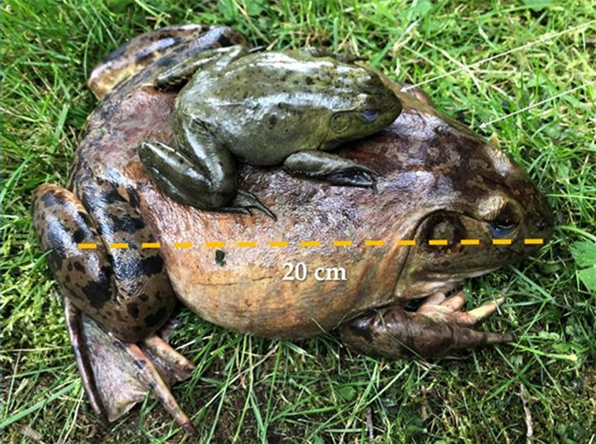 This young bullfrog is already the size of an adult Northern Red-legged frog (10 cm). An adult female bullfrog carries 20,000 eggs and can weigh nearly one kilogram. (Fraser Valley Conservancy)