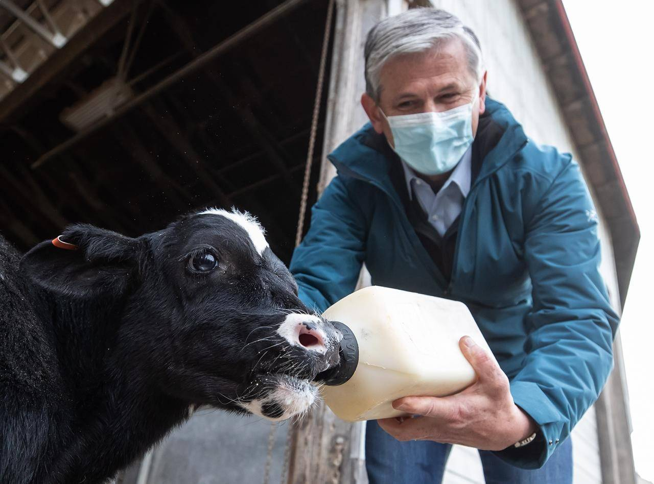 Liberal Leader Andrew Wilkinson bottle feeds a calf during a campaign stop at Nicomekl Farms in Surrey, B.C., on Tuesday, October 20, 2020. A provincial election will be held in British Columbia on Saturday. THE CANADIAN PRESS/Darryl Dyck